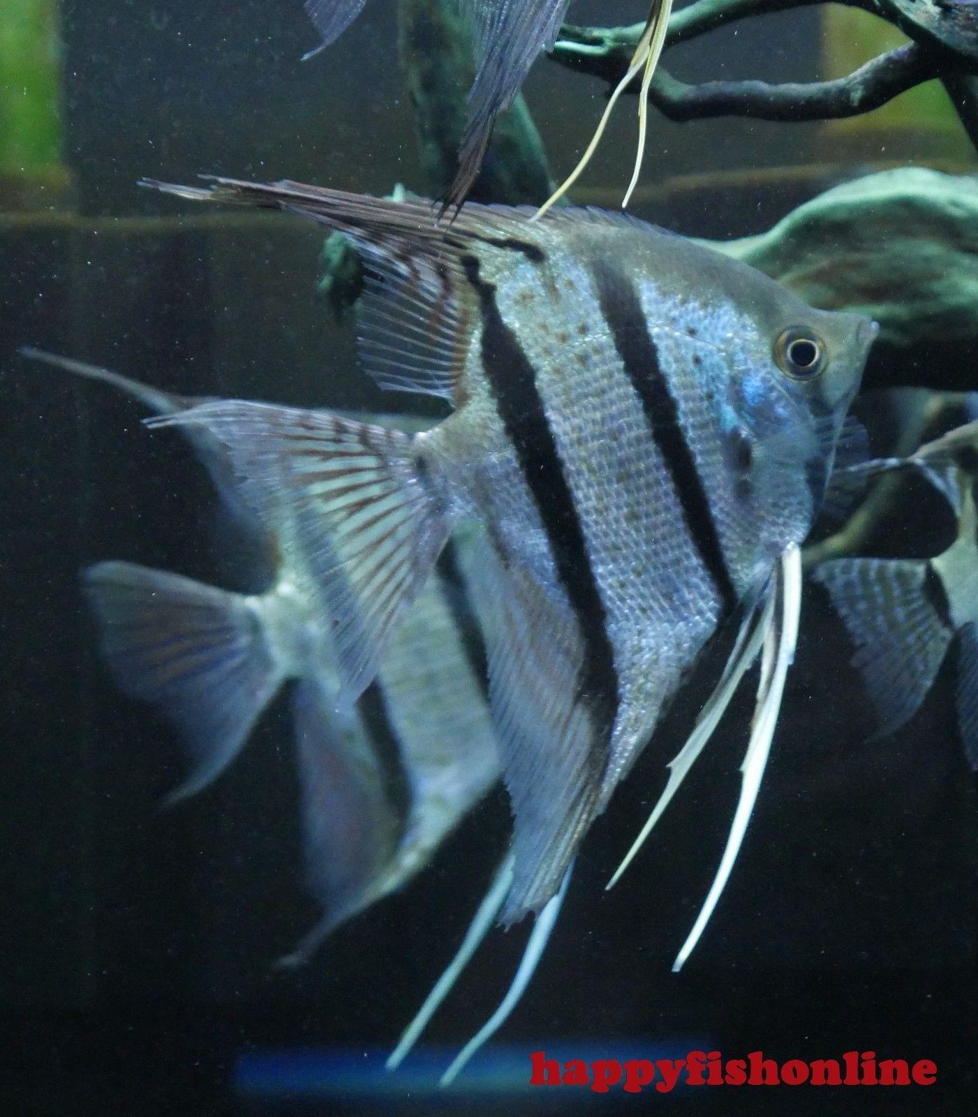 Rio Nanay Angelfish Peruvian Altum Massive 7 8 Inches Angel Fish Fish Pet Fish