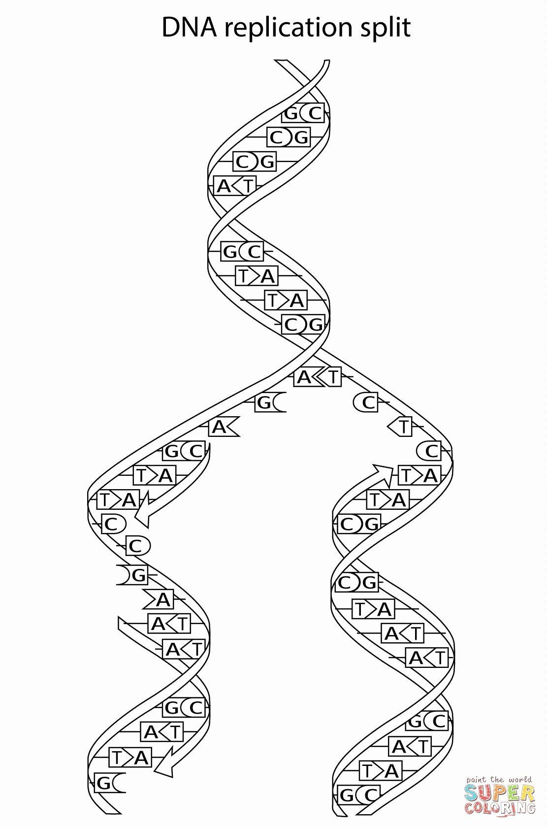 Dna Replication Coloring Worksheet Dna Replication