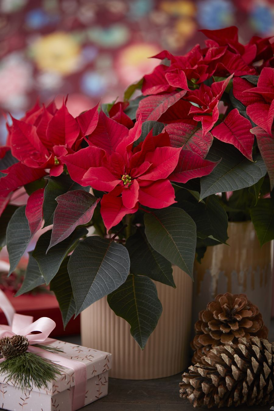 Red Poinsettias Are A Magnificent Christmas Gift Poinsettia Starsforeurope Christmastime Plantgifts Poinsettialove Plant Decor Plant Gifts Birth Flowers