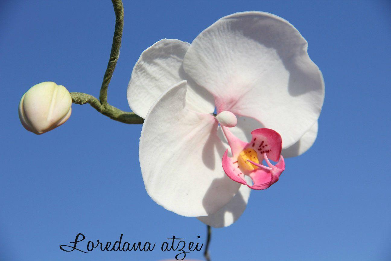 orchidea moth