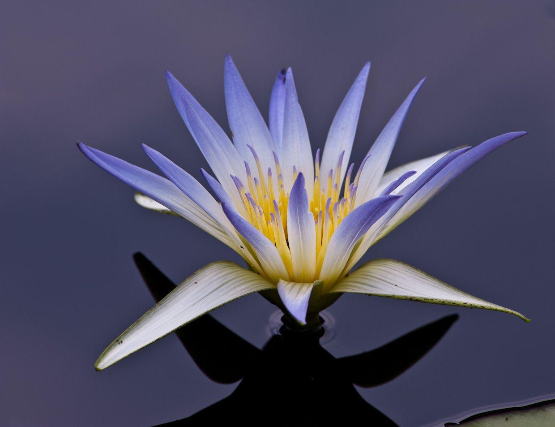 Egyptian lotus flower container gardening pinterest lotus egyptian lotus flower izmirmasajfo