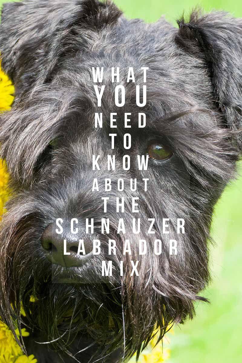 Schnauzer Lab Mix Schnauzer Labrador Mix Lab Mix Puppies
