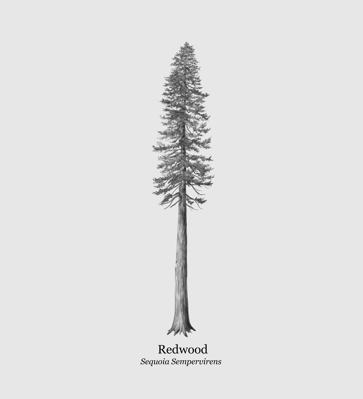Redwood Tree Drawing Giclée Print | Etsy