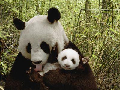Giant Panda (Ailuropoda Melanoleuca) Gongzhu and Cub in Bamboo Forest  Katherine Feng