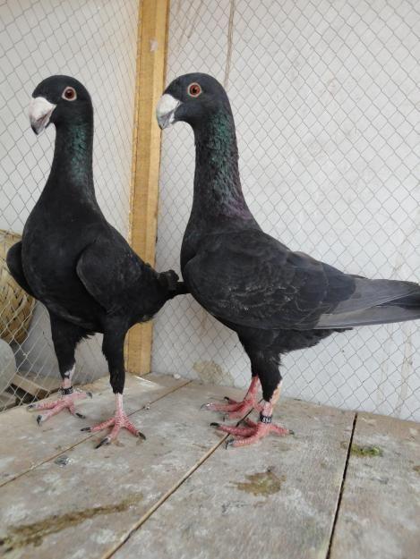 german magpie black | pigeons | Pigeon breeds, Pet birds, Birds