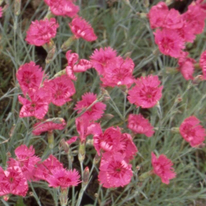 Dianthus Gratianopolitanus Rubin Pfingst Nelke At Staudenstade Nelken Garten Am Hang Stauden