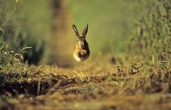 The photographer caught this brown hare at the perfect moment. It looks like the hare is flying. Great moment. Photo - www.andyfisherphotography.co.uk —