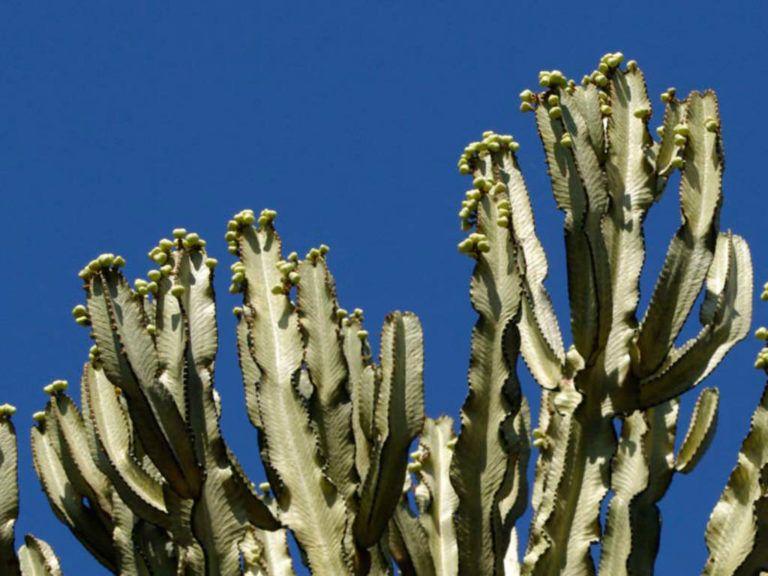 Euphorbia Ammak African Candelabra World Of Succulents Euphorbia Blooming Succulents Succulents