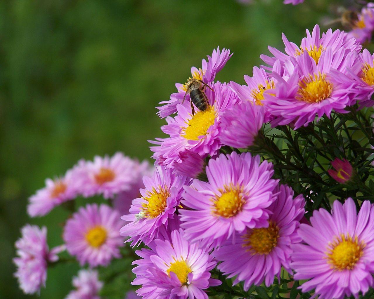 autumn-flowers-hd-wallpaper-3 (1280×1024) | amazing beautiful