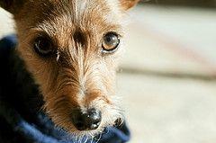 Yorkie Rat Terrier Mix For My Fur Babies Pinterest Yorkie