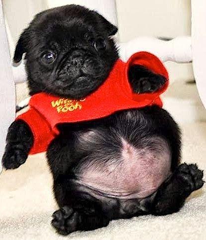 21 Beautifully Bodacious Pugs Baby Pugs Cute Pugs Cute Baby