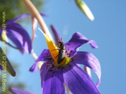Image of Conanthera bifolia (Pajarito del campo / Flor de la viuda). Click to enlarge parts of image.