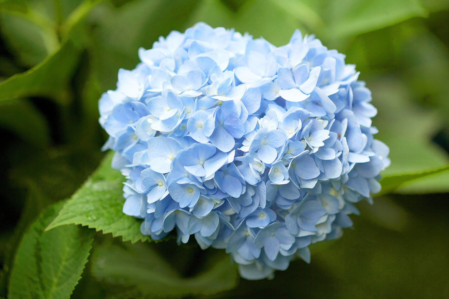 Vibrant Perennial Flowers That Bloom All Summer Hydrangea Varieties Flowers Perennials Smooth Hydrangea