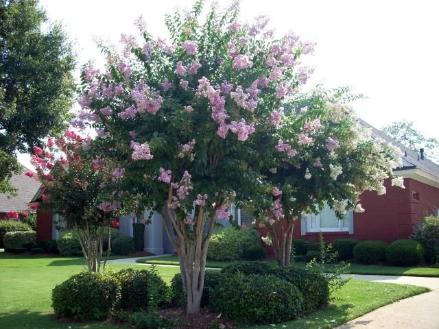 Crape Myrtle Some Of These Could Be Nice On Your Back Fence