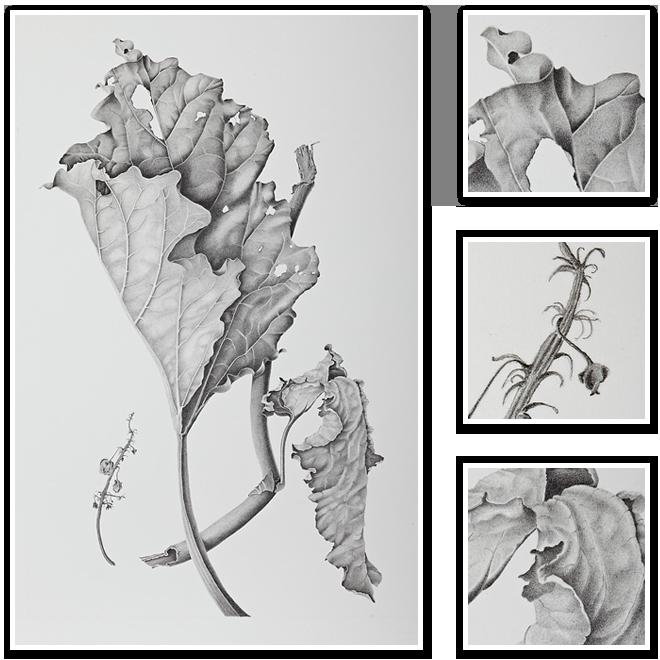Rheum (Rhubarb)   Sharon Field   Botanical Artist, Study , Inspiration for Botanical Sketchbooks for Art Students at CAPI::: Create Art Portfolio Ideas milliande.com, Art School Portfolio Work, , Botanical, Flowers, Plants, Leaves,Stem Seed, Nature, Sketching, Herbarium