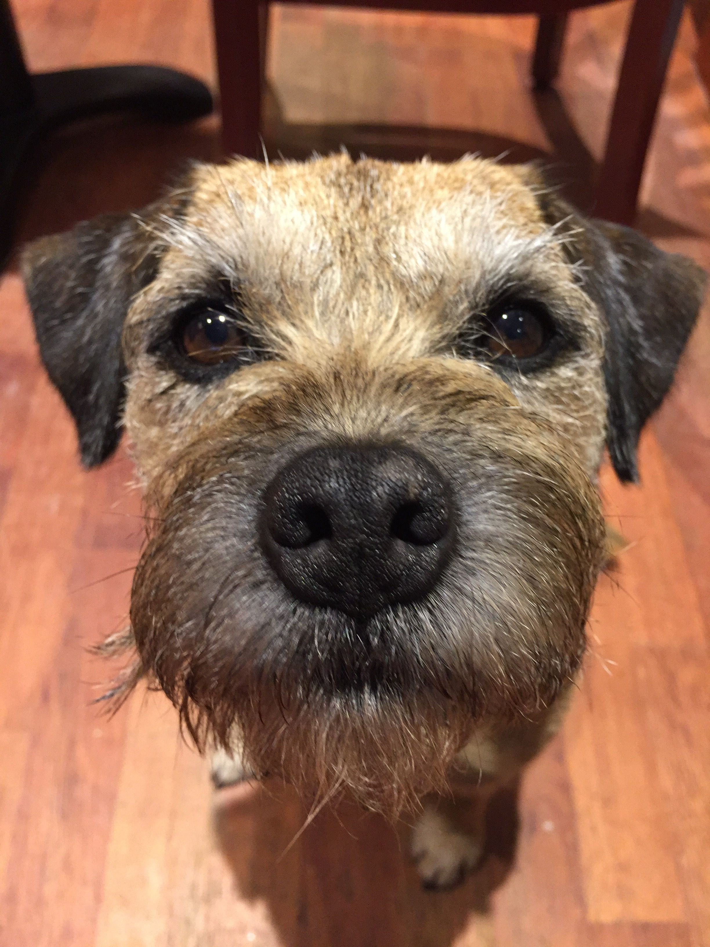 Check This Face Out Border Terrier Border Terrier Puppy Patterdale Terrier