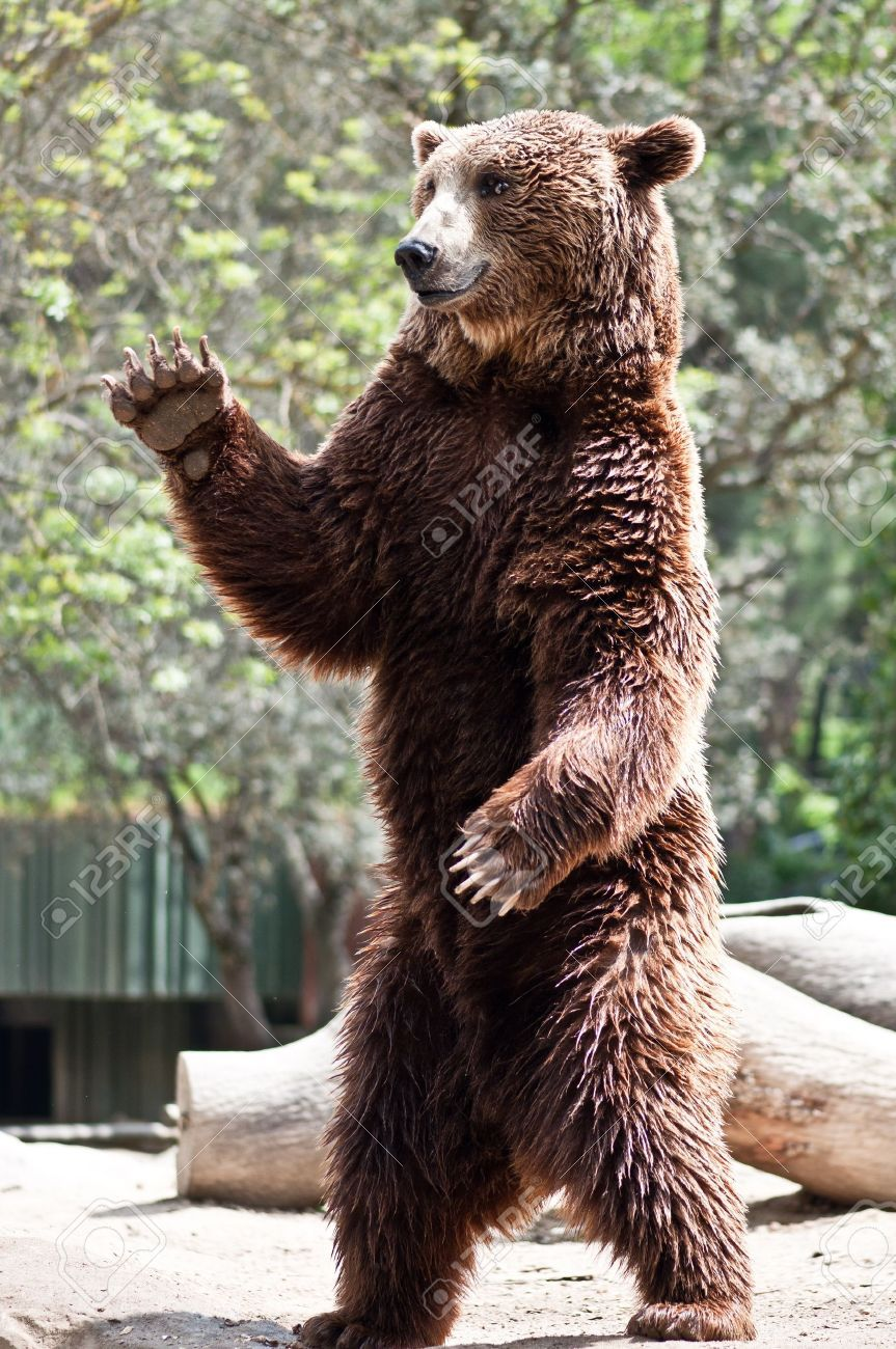 bear standing - Google Search | animals | Grizzly bear ...