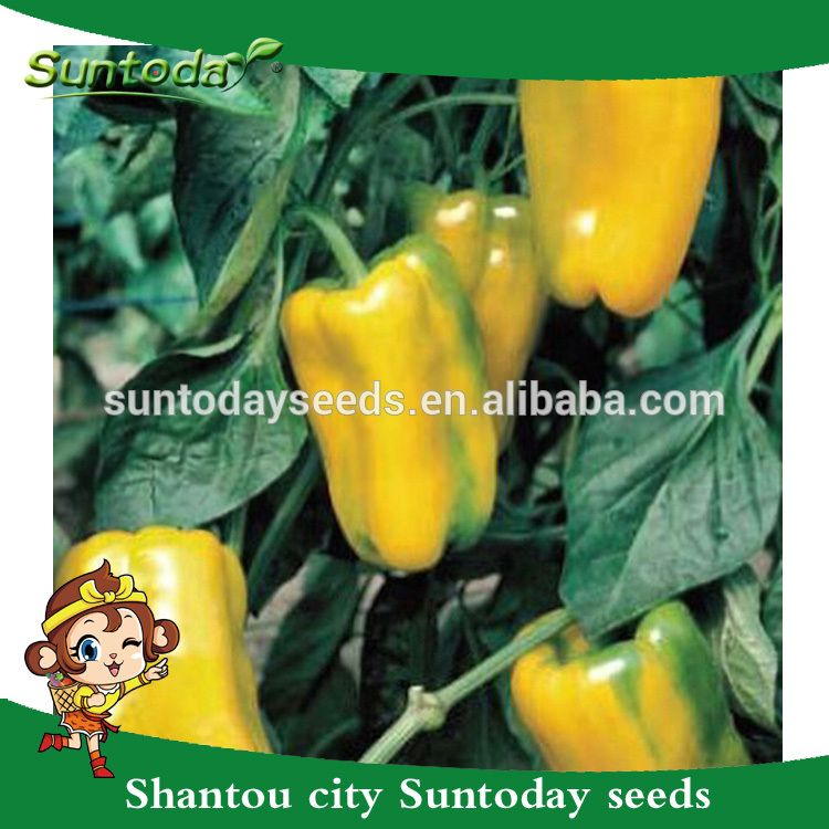 d5bf60bd4df1 Suntoday Asian vegetable NON GMO F1 Organic up yellow bell sweet pepper  chilli seeds(21019)