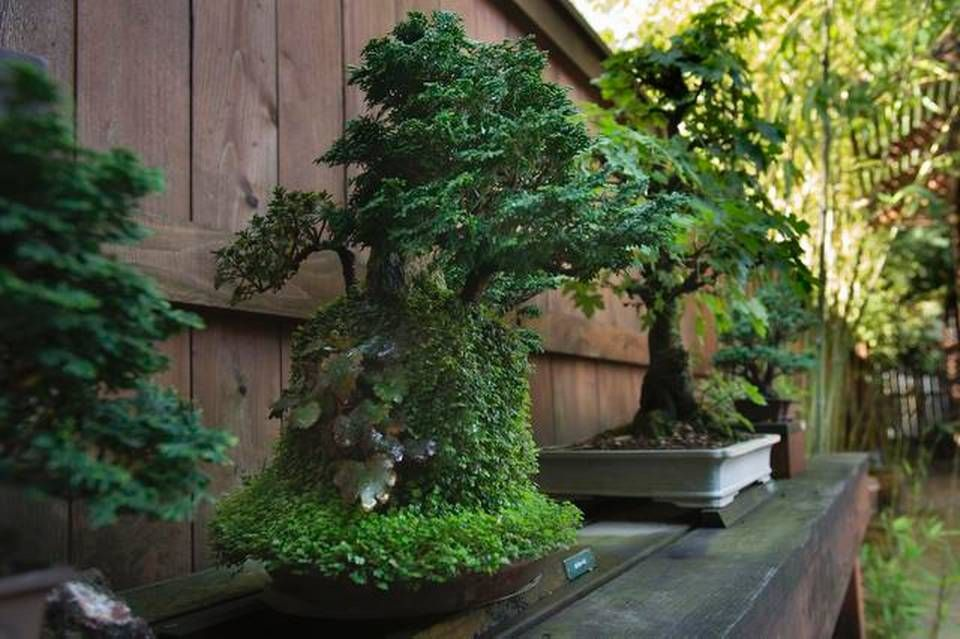 Sacramento Bonsai Clubs Host National Convention Bonsai Bonsai Tree Plants