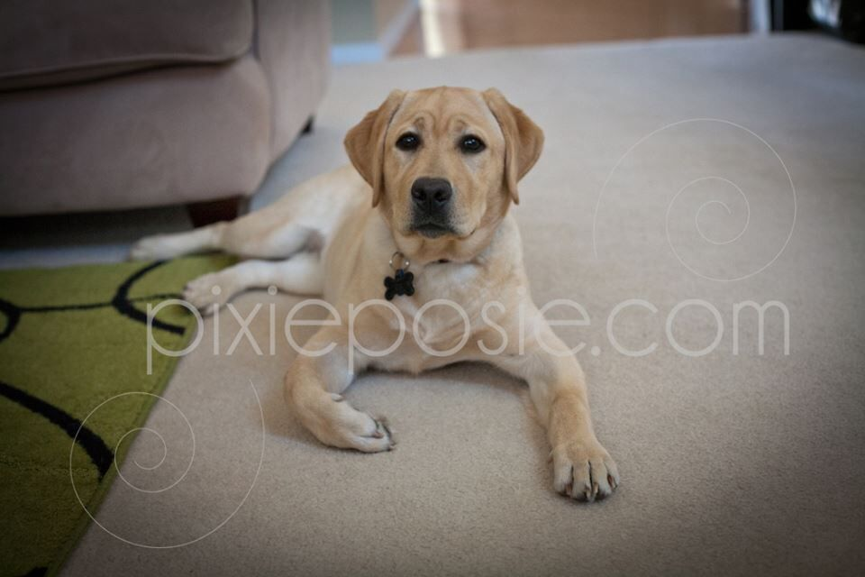 This Is 6 Month Old Miss Ruby I Love My Pup English Labrador English Labrador Labrador Labrador Retriever