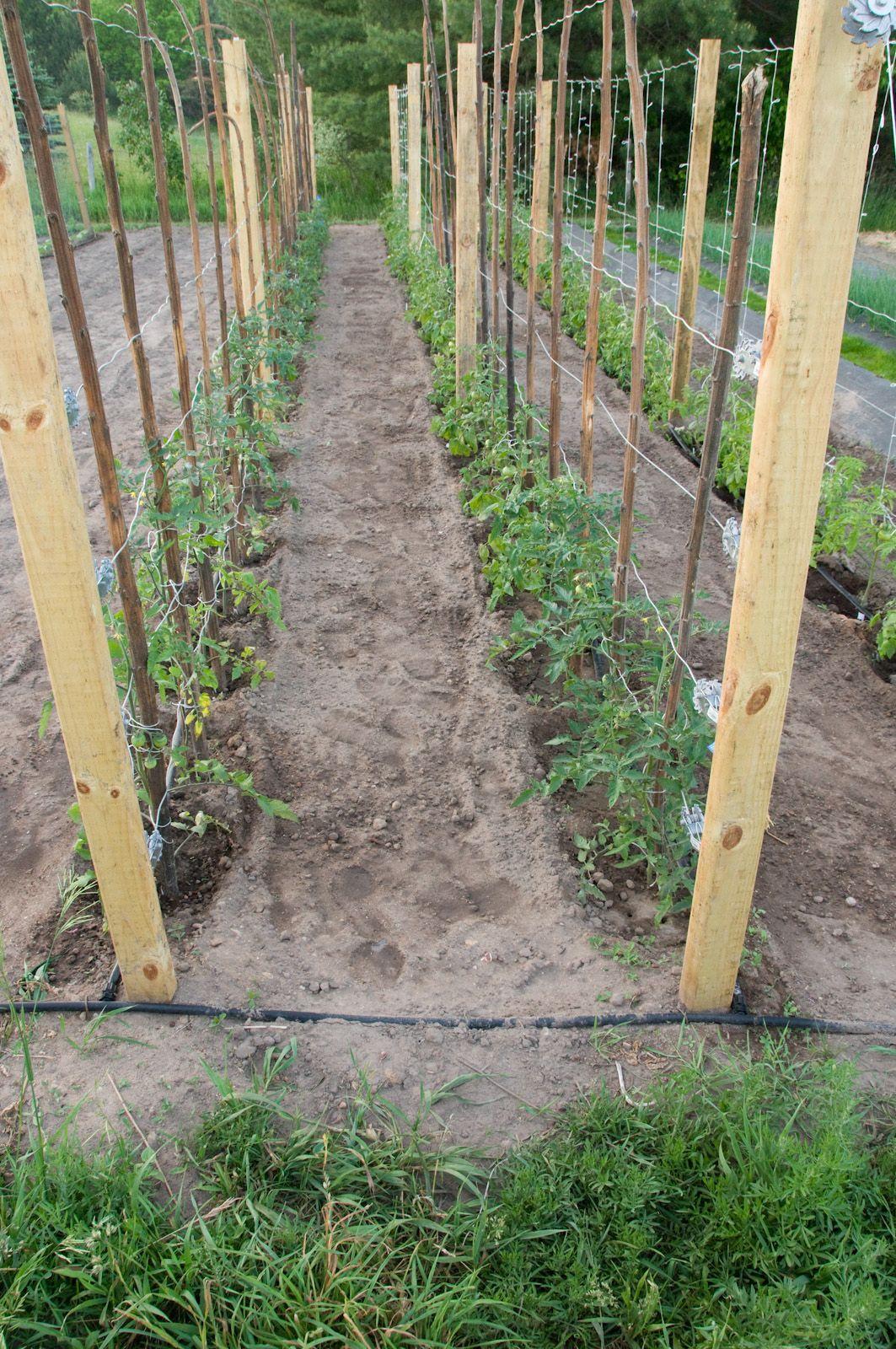 how far apart to plant tomatoes on trellis