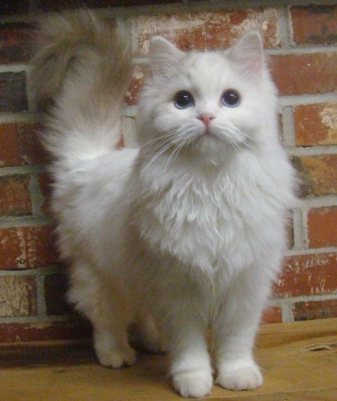 Types Of Fluffy Cat Breeds Complete Guide To Care Fluffy Cat - 13 super fluffy cats melting glass
