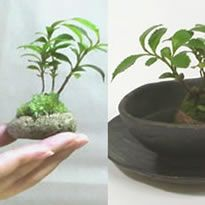 Planting by adhering soil to pebble, was after 2 to 3 years is this bean bonsai. I will be completely housed in the palm of a child[Interesting general store Dejimoba] Product / Gift ideas Misc healing