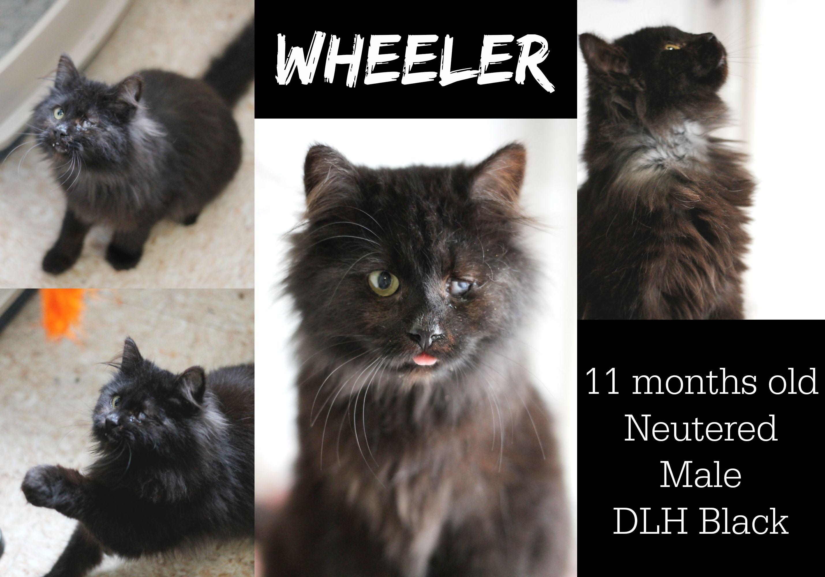 Available For Adoption Wheeler 11 Months Old Neutered Male Dlh Black Adoption Fee No Fee Apply Www Hsomc Org Application Adopt Cat Shelter Neuter Kitten