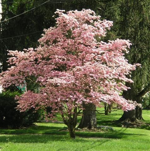 Pin By Lisa Guccione On Lone Tree Pink Dogwood Tree Dogwood Trees Dogwood Tree Landscaping