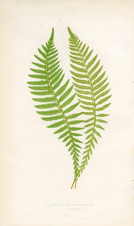 Spear-leaved Polypody | Ilustraciones botánicas | Pinterest ...