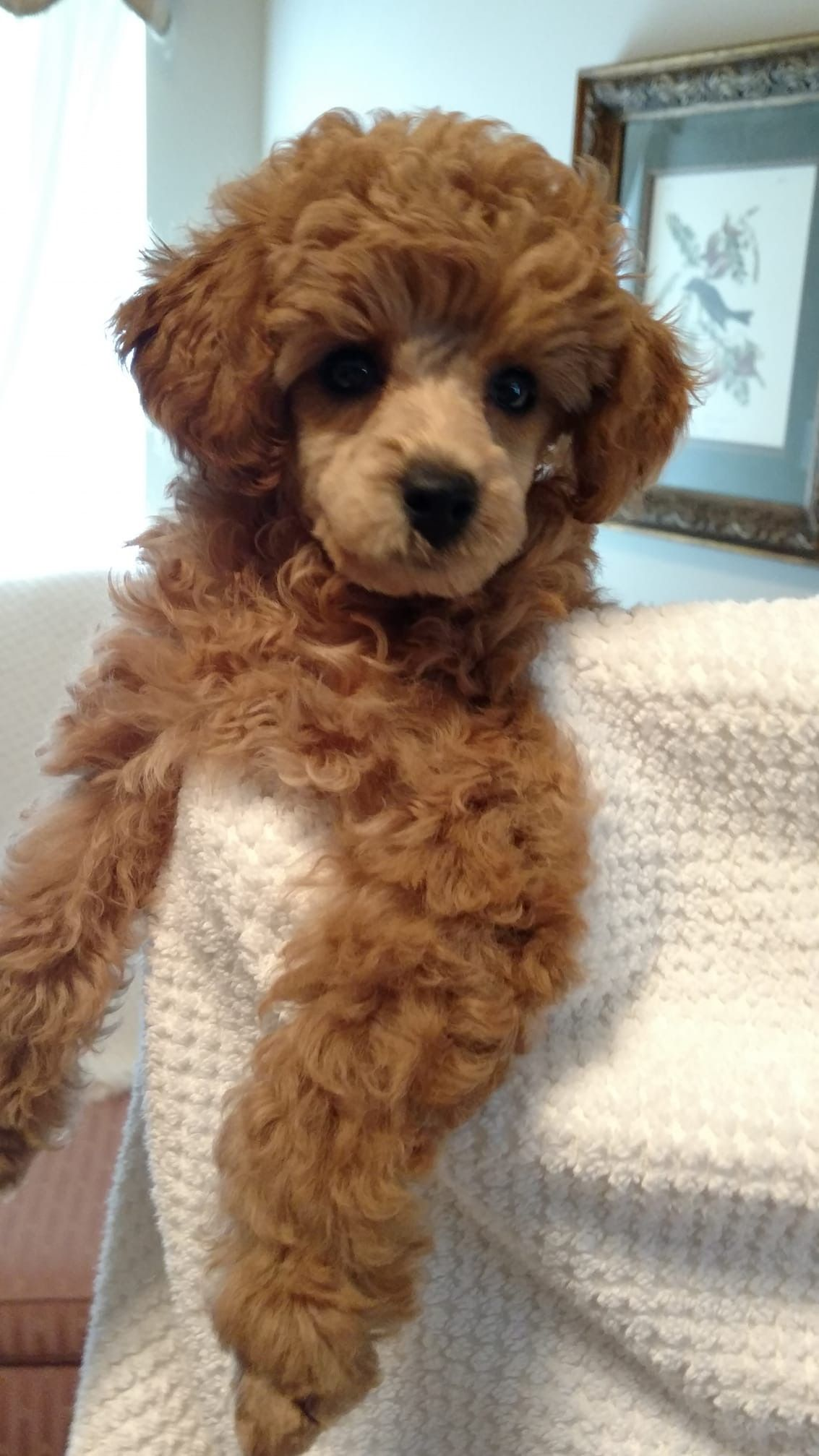 Pin by Starlingale Shelton on Oodles of poodles Dogs