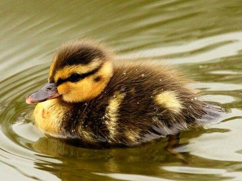 A little duck