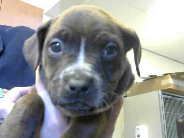 American Pit Bull Terrier Dog For Adoption In Sacramento Ca Adn
