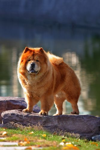 I Need This Dog I Will Have One One Day Chow Chows Chow Chow