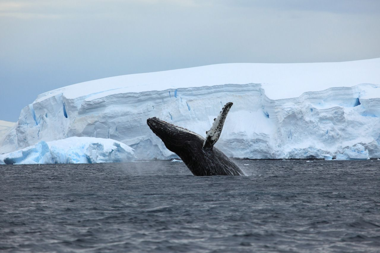 A Sanctuary for Whales in the South Atlantic Has Been Blocked Again  link to original article http://nonsensefiltr.tumblr.com/post/153118107896/a-sanctuary-for-whales-in-the-south-atlantic-has