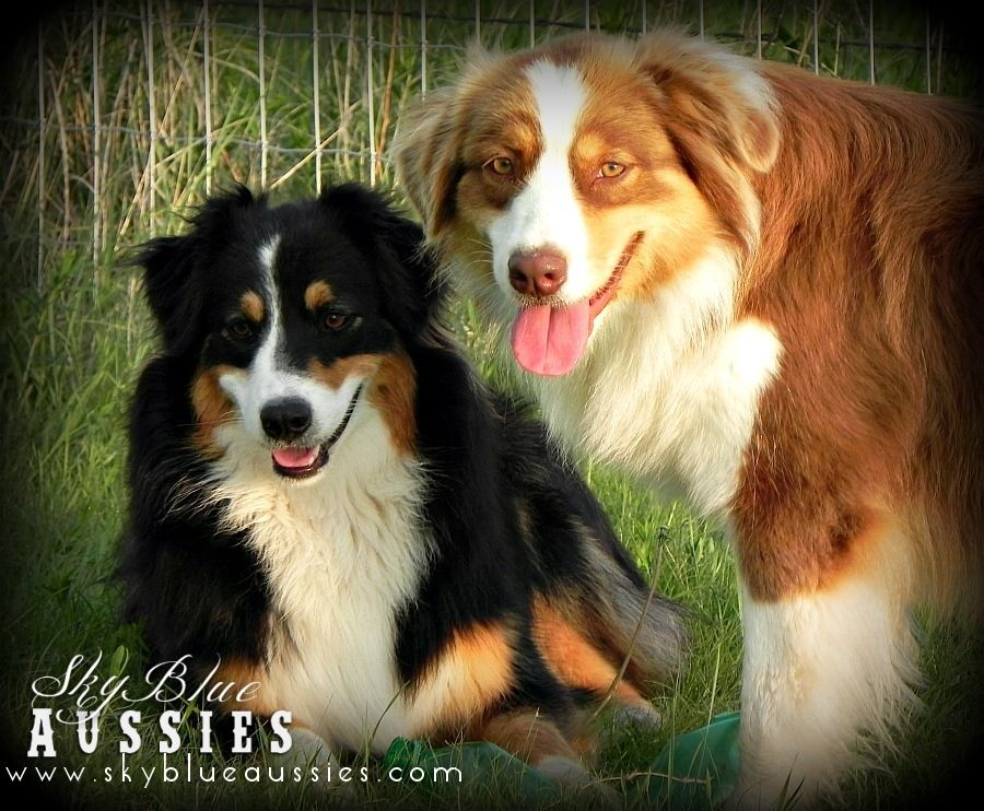 Jett And Faith Australianshepherds Australian Shepherd Puppies