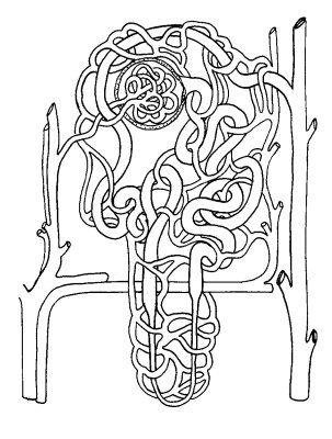 Image Biodidac Humn088b Chordata Mammalia Homo Sapiens Diagram