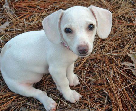 White Miniature Dachshund Puppies Bing Images Dachshund