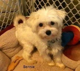 Adopt Bernie On Baby Animals Rescue Puppies Maltese Dogs