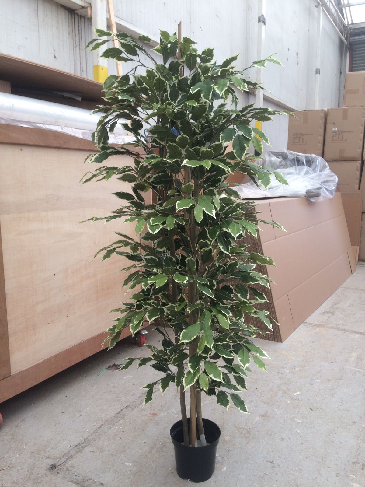 how to protect a ficus tree from frost