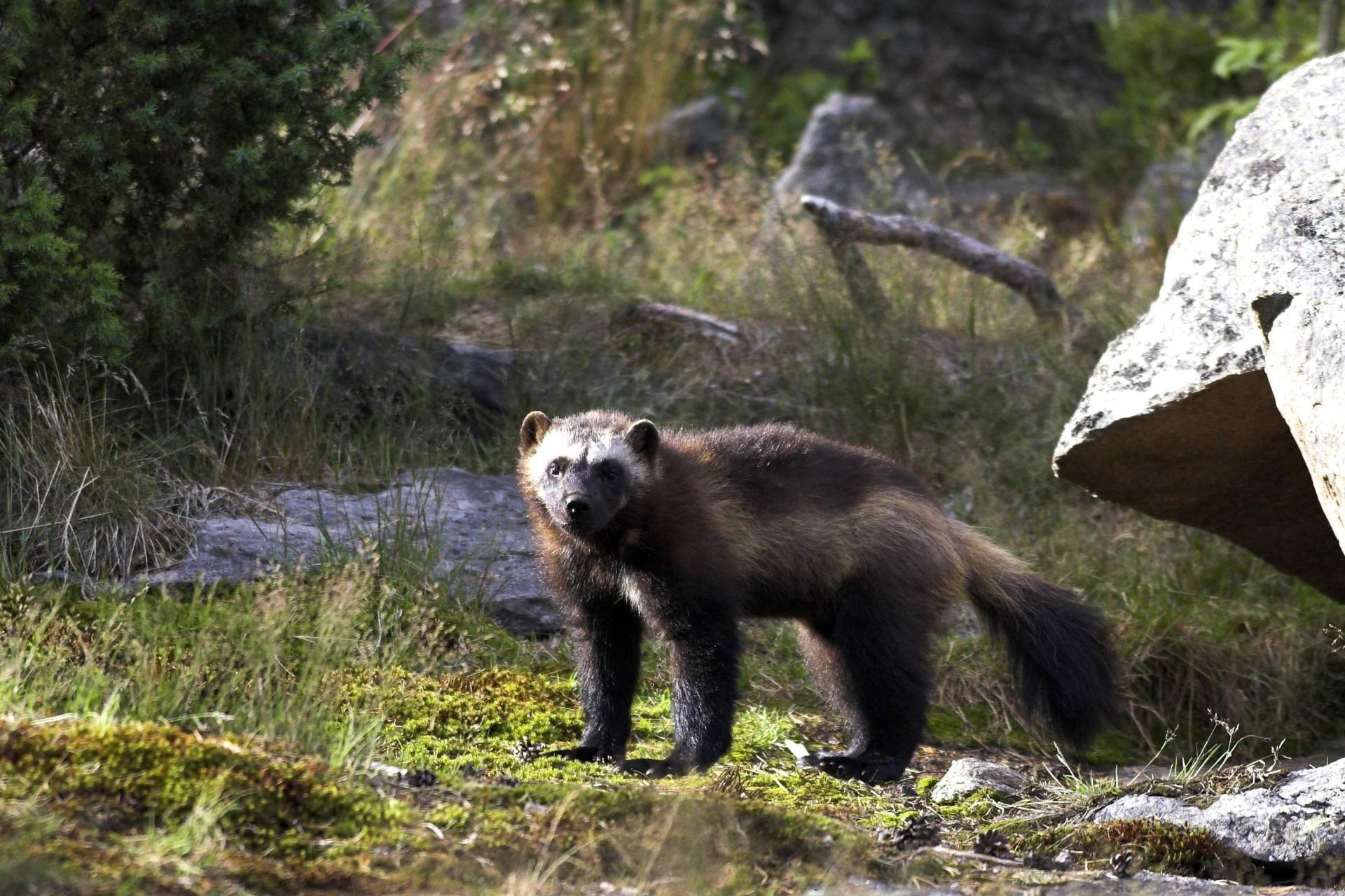 DIE WELT - Die Wildnis ist zurück: Die Einwanderung der alten Tiere