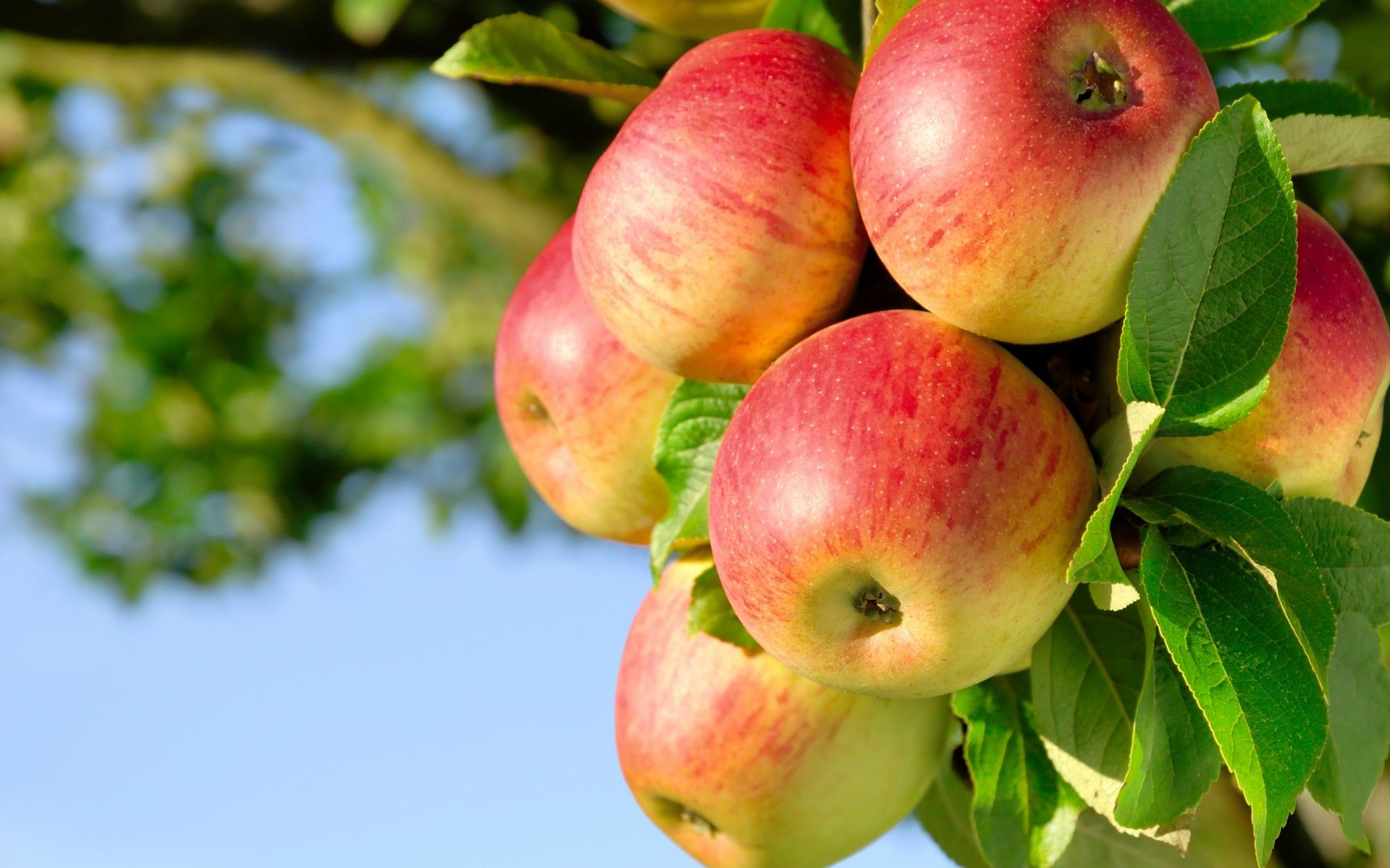 Apple Variety Reviews Apple Varieties Jonathan Apples Apple