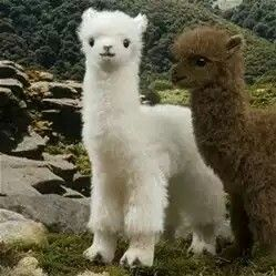 Extremely Cute Alpaca Babies Properly Called A Cria Cute
