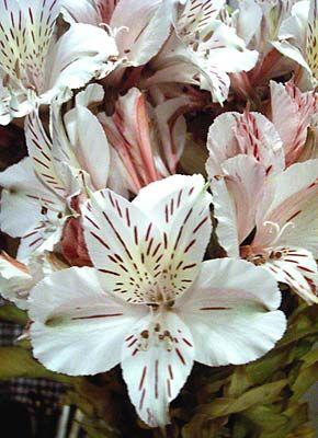 31537 Jpg Alstroemeria Easy To Grow Bulbs Plant Identification