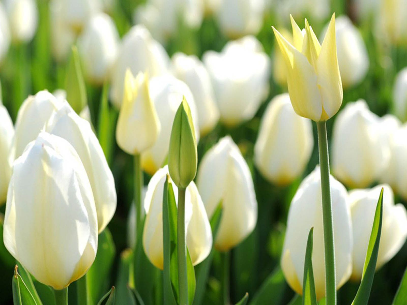 White Tulips Hd Desktop Flowers Pinterest Tulips Flowers And