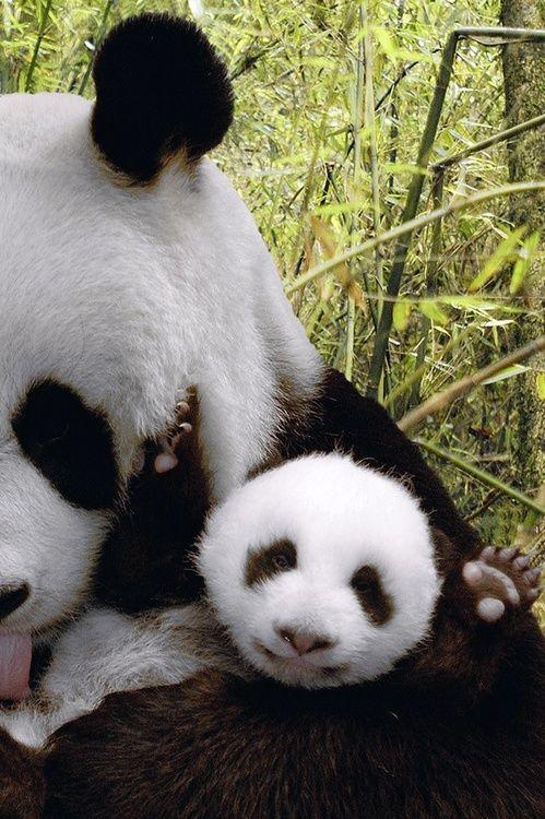 Yay for baby pandas! #babypandabears