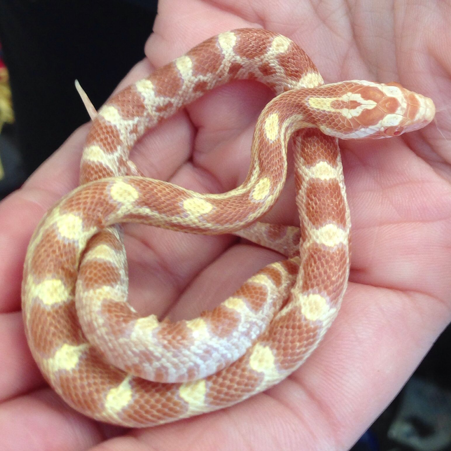 Butter Creamsicle Corn Snake. 5mths.