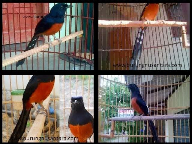 Berbagai Jenis Murai Batu Ekor Hitam Blacktail Burung Nusantara Bird Batu