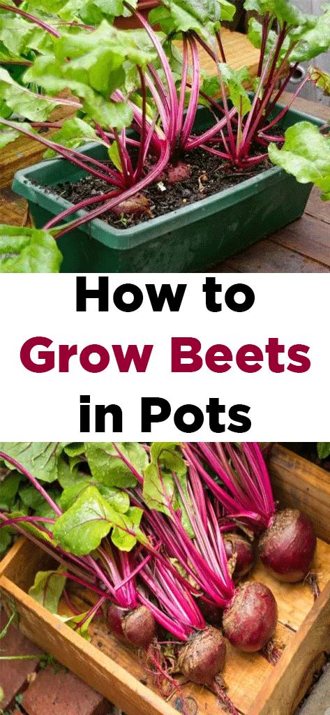 How To Grow Beets In Pots Growing Beets Growing Vegetables Vegetable Garden Tips