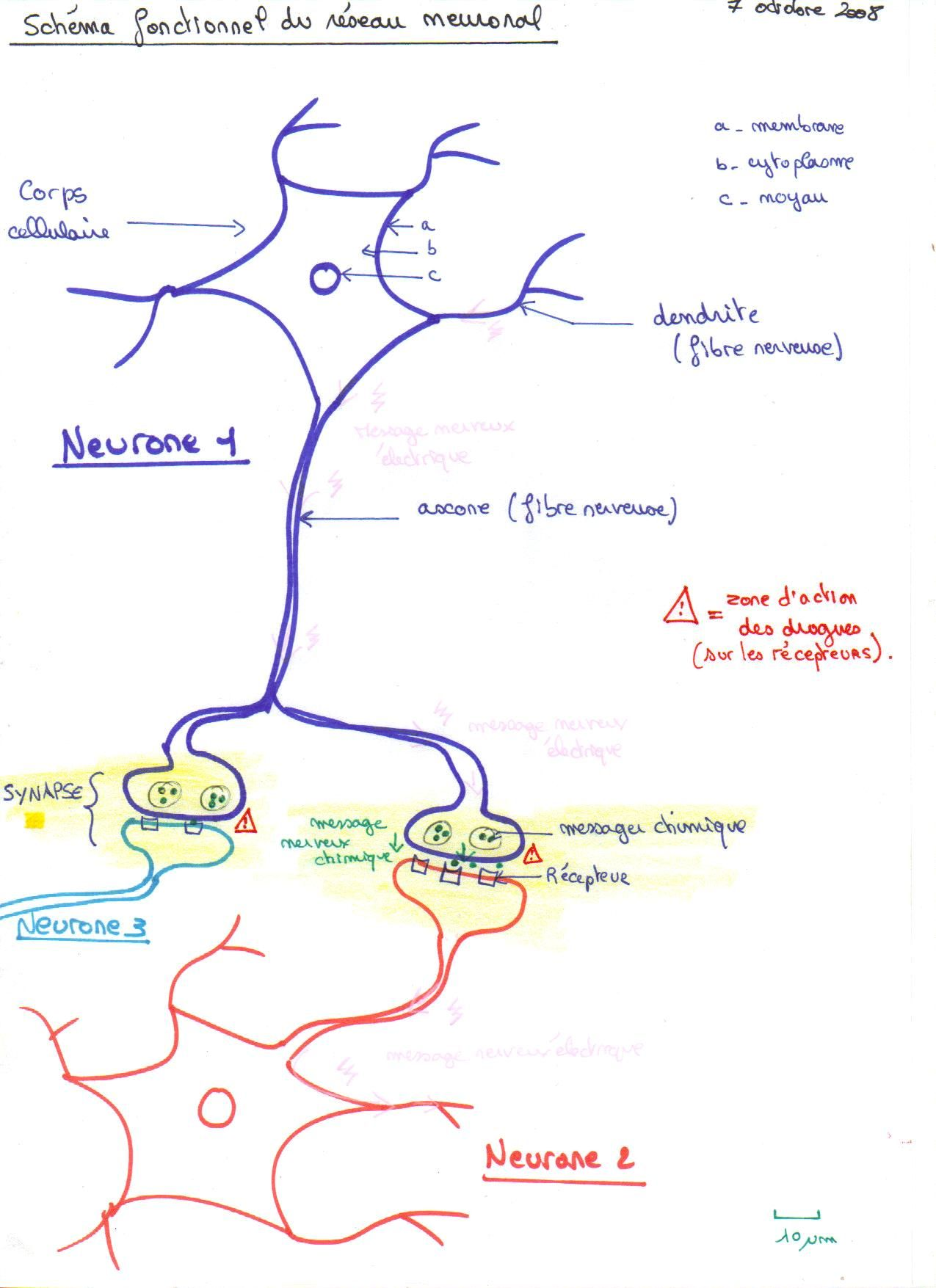 Le syst me nerveux et ses perturbations svt 4 me cours for Influx nerveux
